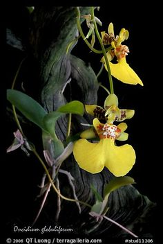 Oncidium globuliferum. A species orchid (color)