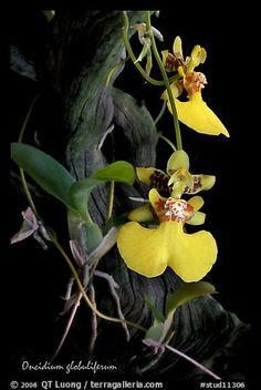 Oncidium globuliferum. A species orchid (color)