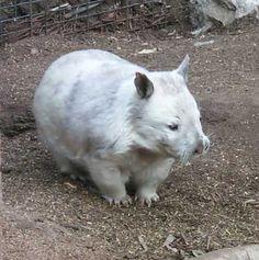Rare Albino Animals, Animals Are Beautiful People, Australia Animals, Black Animals, Tier Fotos, Fauna, Cute Funny Animals, Spirit Animal, Pet Portraits