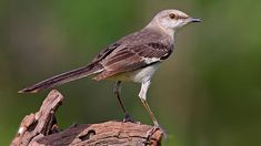 Mockingbirds Can Learn Hundreds of Songs, But There's a Limit | All About Birds