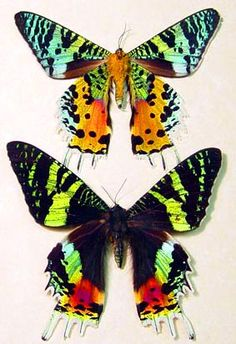 Madagascar Sunset Moth, it achieves its iridescence by refracting light off of microscopic scales on its wings