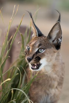 Cats In The Cradle Lyrics Product Caracal Caracal, Serval Cats, Wild Animals Photos, Animals And Pets, Beautiful Cats, Animals Beautiful, Cute Funny Animals, Cute Cats, Big Cats