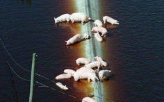 Pigs on Flooded Factory Farm Shows Sad Truth About Our Relationship With These Animals | One Green Planet