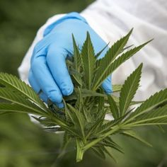 A quarter of cancer patients use cannabis to feel better, where it's legal