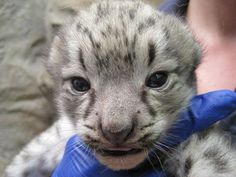 rare baby snow leopard. It's so young it looks like an alien animal!