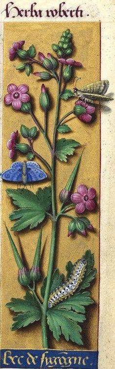 Bec de sygogne - Herba Roberti (Geranium Robertianum L. = herbe à Robert) -- Grandes Heures d'Anne de Bretagne, BNF, Ms Latin 9474, 1503-1508, f°44r