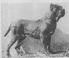 neapolitan mastiff   Stop Brachycephalism Now. Article by dental vet. - Page 2