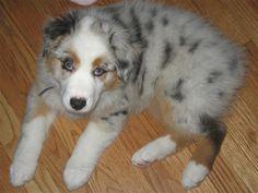 Blue Merle Aussie Puppy <3