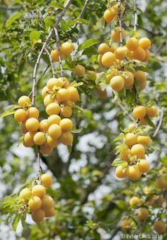 Wild plums - Bullace