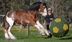 Clydesdale playing ball too adorable
