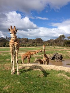 Did you know that the giraffe has excellent eyesight? It can see a human standing up to 2km away.    www.zoo.org.au