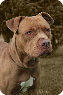 Westampton, NJ - American Staffordshire Terrier. Meet Bear D-58680, a dog for adoption. http://www.adoptapet.com/pet/10801206-westampton-new-jersey-american-staffordshire-terrier