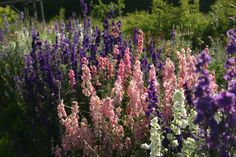 The larkspur bed has been so successful this year at www.commonfarmflowers.com. English country flowers.