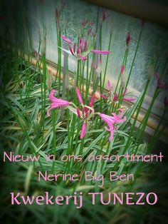 Nerine Big Ben. Kwekerij TUNEZO.  Summerflowers.nl
