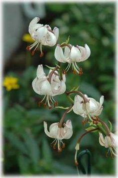 Martagon Glacier Lily