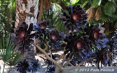 Visit to Lotusland, part 2: House Garden with cactus and euphorbia | Digging    Aeonium plant
