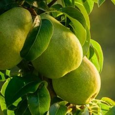 How to store, use, and freeze pears | Living the Country Life | http://www.livingthecountrylife.com/country-life/food/all-about-apples-pears-and-cherries/