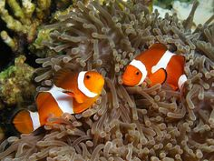 Anemone fishes live in groups where the two largest fish only are sexually mature, the largest being female and the next largest male. If the female dies, the male changes sex to female and the next largest fish in the group matures to male.