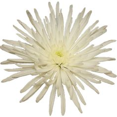 64 best white wedding flowers images on pinterest in 2018 white super white spider mum flower delistar mightylinksfo