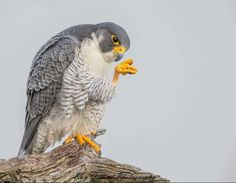 Raptor Bird Of Prey, Birds Of Prey, Falcon Hawk, Peregrine Falcon, Bird Feathers, Animals, Parrots, Amazing, Three Sisters