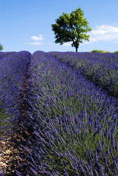 """Lavender field, Provence."""