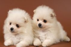 Very Cute Pomeranian Puppy Pictures And Photos White Puppies, Cute Dogs And Puppies, Baby Dogs, Doggies, Funny Puppies, Adorable Puppies, Baby Puppies, Small Puppies, Puppy Images