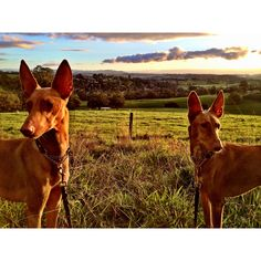 Taboo and Lulu in the Yarra Valley, Victoria, Australia.   Pharaoh hound. Kelb Tal Fenek.