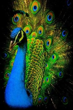 Shop peacock bird poster created by cardart. Personalize it with photos & text or purchase as is! Pretty Birds, Love Birds, Beautiful Birds, Animals Beautiful, Hello Beautiful, Peacock Photos, Peacock Art, Peacock Colors, Peacock Feathers