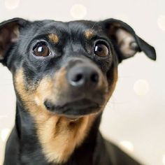 lovely #PinscherBuddy ❤ © Melody M. Bayer Fotografie |BUDDY&ME #miniaturepinscher #minpin #zwergpinscher #dogphotography