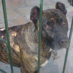 Le Cimarron uruguayen, chien de troupeau - Webzine Animaux de compagnie http://www.animalcompagnie.com/le-cimarron.html