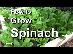 How to Grow Spinach 101: From Seed, Planting, Pests, Problems, Harvest, to Kitchen! - YouTube