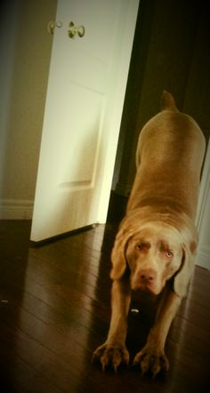 Downward Dog #weimaraner #yoga; Riley does this every morning...it's his bow:)