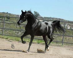 THEE ONYX    Thee Desperado X Shakirra (Bey Shah)  1999 Homozygous Black Stallion