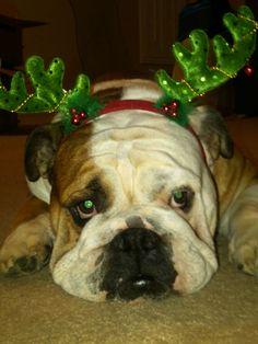 Christmas Bulldog - My Louie