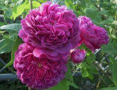 Image result for Erinnerung an Brod rose