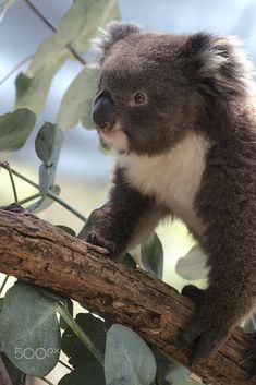 Koala by Alexius Sutandio #koala #animal #cute