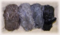 Since the standard for lilac compares it to the english lilac rabbit, here's a picture! Left to right: Chocolate, Lilac, Blue and Black