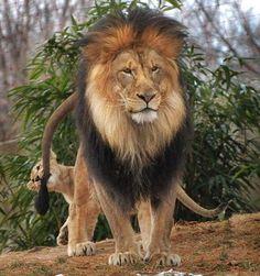 Erkek aslanın feci sonu