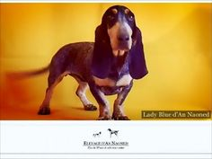 LADY BLUE d'An Naoned 🐾 💜 🎥 Femelle Basset bleu de Gascogne née le 23/04/15 (Hebe d'An Naoned x Frog d'An Naoned)  #basset #bassetbleudegascogne #bbg #dog #chien #cani #hund #pet #chasse #hunting #jagd #rarebreed #doglove #amourdechien #bassetlove #cute #dogvideo #dogportrait