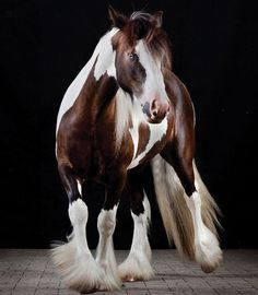 Picturesque pinto (sorry for the alliteration)--Gypsy Vanner?