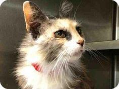 Los Angeles, CA - Domestic Mediumhair. Meet SUNNY, a cat for adoption. http://www.adoptapet.com/pet/12761233-los-angeles-california-cat
