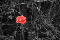 This photo was taken in my friend's back garden. It's a red rose on a black thorn background. I edited out the colour.