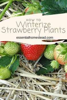 gardens 4 Ways to Winterize Strawberry Plants There are several methods to winterize strawberry plants. Learn how to use straw, wood, or even pine needles to get your strawberries ready for winter. Strawberry Plant Care, Strawberry Planters, Strawberry Garden, Strawberry Varieties, Strawberry Beds, Winter Vegetables, Organic Vegetables, Growing Raspberries, Grow Strawberries