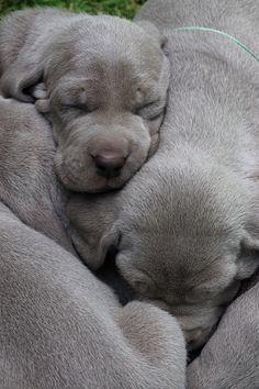 Sleeping Weimaraner Puppies