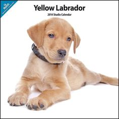 Yellow Labrador 2014Wall Calendar ** Check out the image by visiting the link.