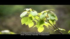 The story of a giant panda 1/10 - Video Dailymotion