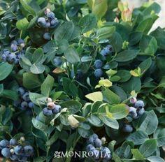 BrazelBerries® Peach Sorbet™ Blueberry - Monrovia - BrazelBerries® Peach Sorbet™ Blueberry