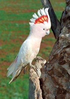 Major Mitchell cockatoo ...Native Birds   John's Photos
