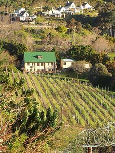 Small domestic vineyard in Constantia