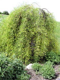 Dammann's Gardening Center | Ornamental Tree List